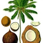 220px Cocos nucifera   Köhler–s Medizinal Pflanzen 187 150x150 Digested coconut oil could fight <b>tooth</b> <b>decay</b>