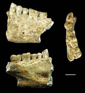 The Lonche jaw from a karstic cavern of southern Slovenia. Scale bar, 10 mm.Untitled21.jpg
